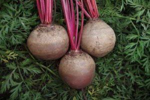 ¿Es posible plantar remolachas a fines de junio o julio en campo abierto?