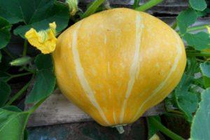 Descrierea soiului de dovleac Karavai, caracteristici de cultivare și randament