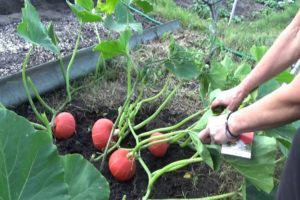 Descrierea soiului de dovleac Alun, cultivare și îngrijire