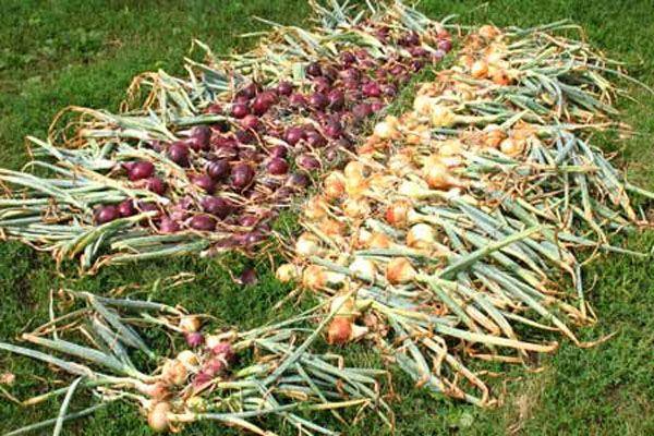 cosechando cebollas