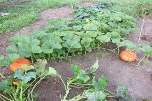 De ce cad fructele de dovleac și ovarele se îngălbenesc pe câmp deschis în grădină
