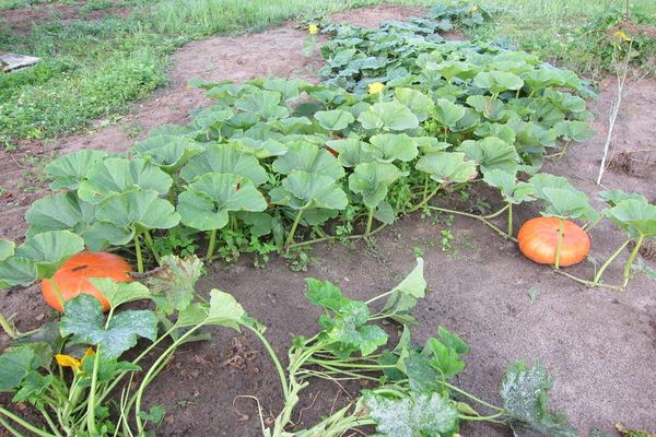 creșterea dovleacului în grădină