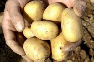 Opis odrody zemiakov Uladar, znaky pestovania a starostlivosti