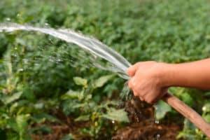 Cât de des și corect să uda dovleacul pe câmp deschis și este necesar?