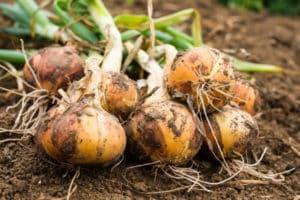 Tratamiento de enfermedades de la cebolla con remedios caseros, recetas para combatirlas.
