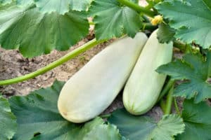Por qué los calabacines crecen mal y se vuelven amarillos en campo abierto, qué hacer, tratamiento