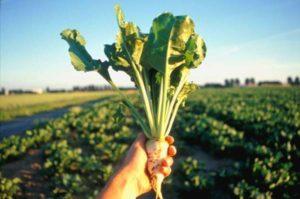 Descripción de variedades de remolacha azucarera, cultivo y tecnología de cultivo, rendimiento.