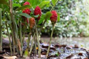Tipos y cultivo de jengibre, dónde crece y cómo se ve en la naturaleza.