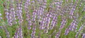 Opis ombalo - bažinatej mäty, výsadby a starostlivosti o rastliny