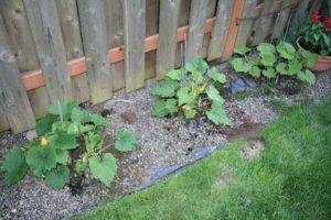 Cómo cultivar y cuidar adecuadamente el calabacín en campo abierto.