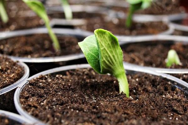 răsaduri sau semințe