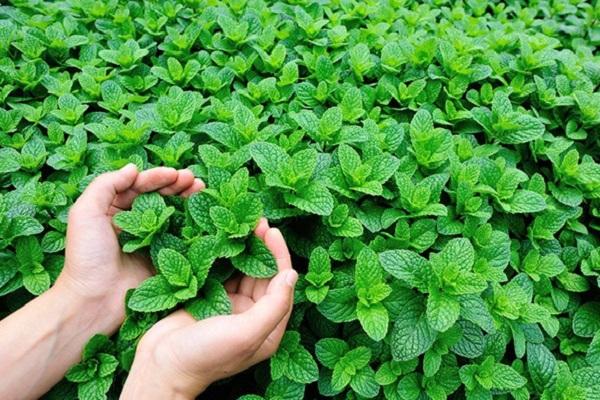 pestované rastliny