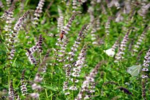 Opis odrody špice (záhradnej) mäty, vlastnosti pestovania a starostlivosti