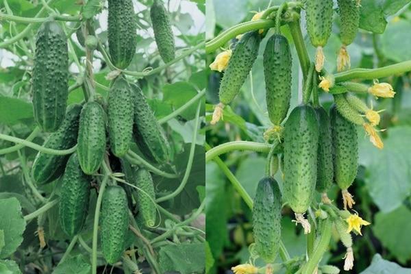 uhorkové kríky Garland f1