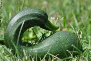 Por qué los calabacines crecen de forma irregular, lo que les falta