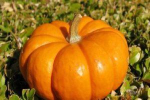 Descrierea soiurilor de dovleac cu fructe mari Rossiyanka, Sweetie, Kroshka, 100 de kilograme și altele, cultivarea acestora