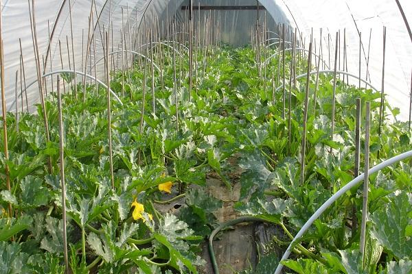 calabacín en invernadero