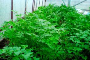 Hogyan lehet megfelelően termeszteni a koriander üvegházban