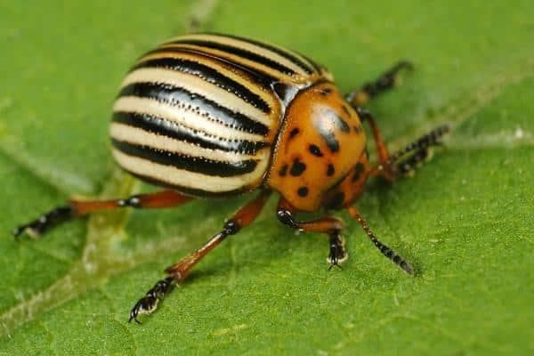 escarabajo de patata