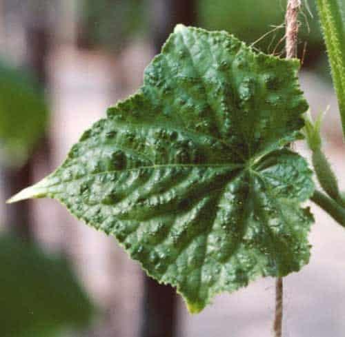 frunze de castravete