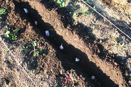 plantarea usturoiului