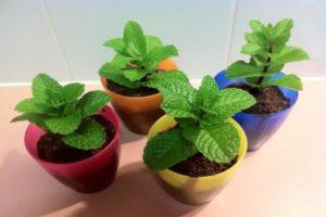 Ako pestovať a starať sa o mätu doma na semennej parapete