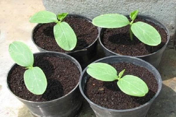 Výsadba sadeníc