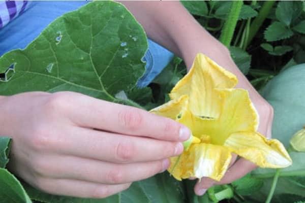 polenizat independent