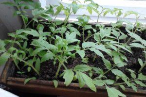 Ako pestovať a pestovať paradajky bez zberu sadeníc