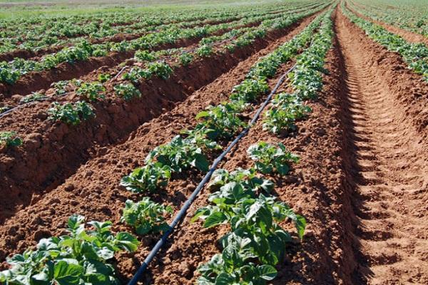 cultivarea cartofilor