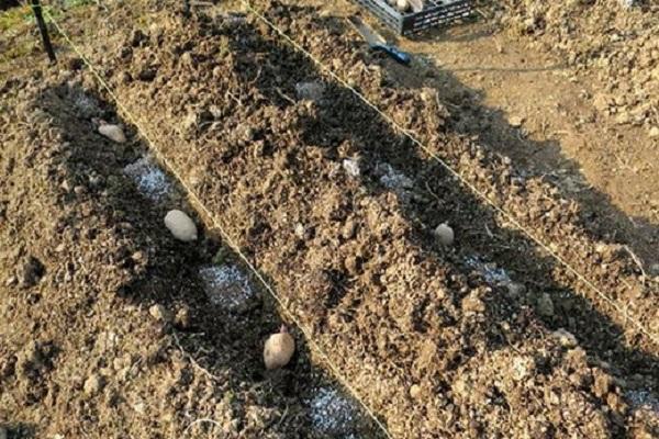rădăcini de cartofi