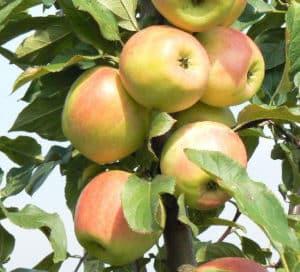 A Zarya Alatau almafajta jellemzői és leírása, a termesztési régiók és a gyümölcsök íze