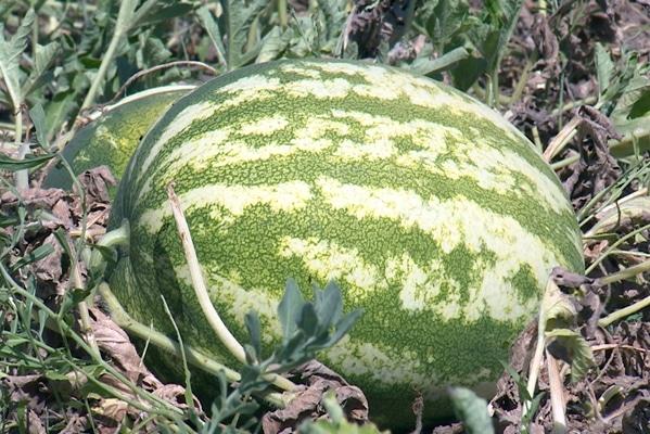 betakarítás görögdinnye fajta termelő a szabadban