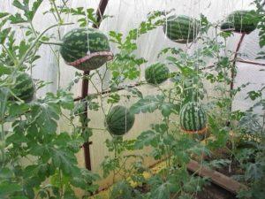 Cum să crești pepeni într-o seră policarbonat, plantare și îngrijire, schema de formare