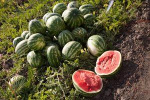 Az astrahani görögdinnye termesztésének jellemzői, az egyszeri érés és a fajták megkülönböztetése