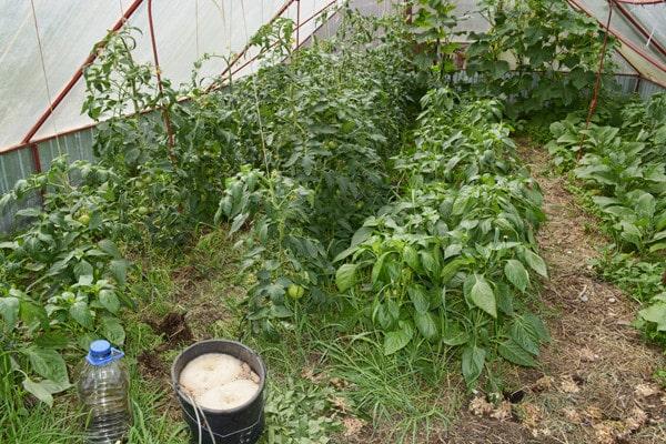arbustos de berenjena ultra temprano f1 en invernadero