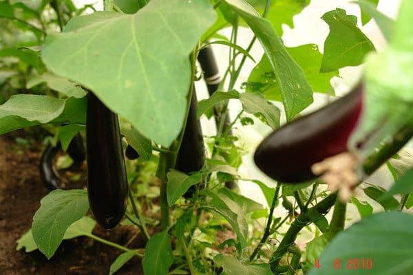 arbusto de berenjena