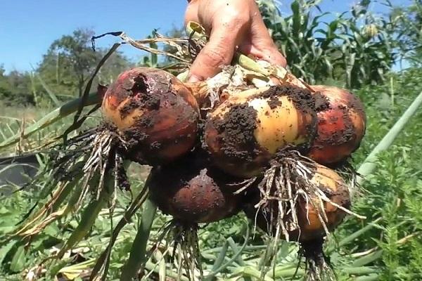 madurez de los cultivos de raíces