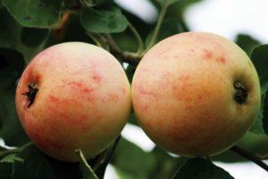 Descrierea soiului de mere Kutuzovets și istoricul reproducerii, regiuni de cultivare