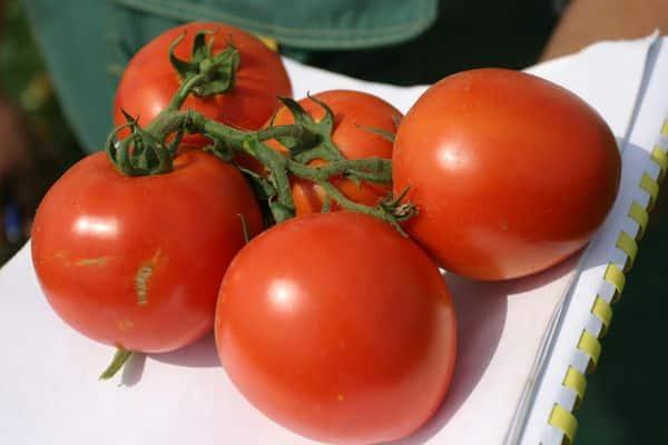 chutné paradajky