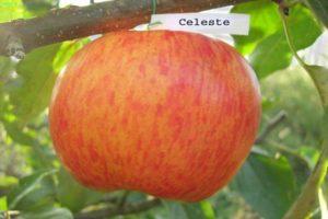 A Celeste almafajta és a betegségekkel szembeni ellenálló képesség, a téli keménység leírása