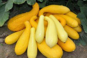 Descripción de las mejores variedades de calabacín amarillo para consumo y cultivo.
