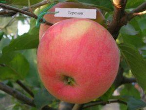 Descrierea soiului de mere Teremok, istoricul și randamentul reproducerii