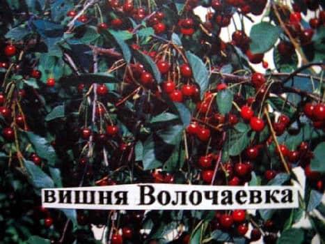 čerešňa volchaevka