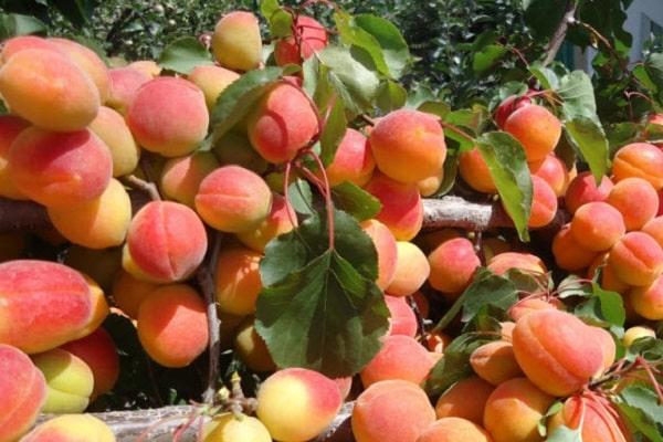 tamaño de la fruta