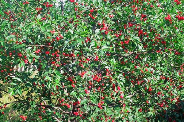 cseresznye a kertben