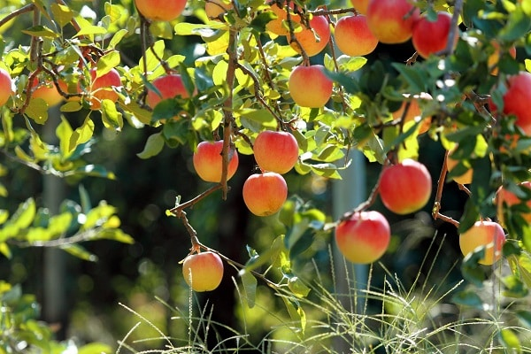 almafa kompatibilitás