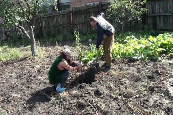 plantarea unui copac