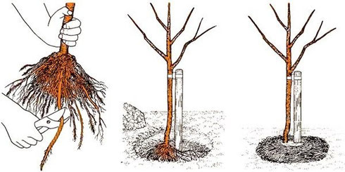 cseresznye ültetés