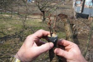 Hogyan terjesztjük a cseresznyeféléket nyáron dugványok segítségével, különös tekintettel a palánták otthon történő termesztésére és gondozására
